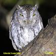 Oriental Scops-Owl