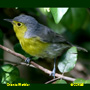 Oriente Warbler Warbler