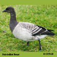 Pale-bellied Brant