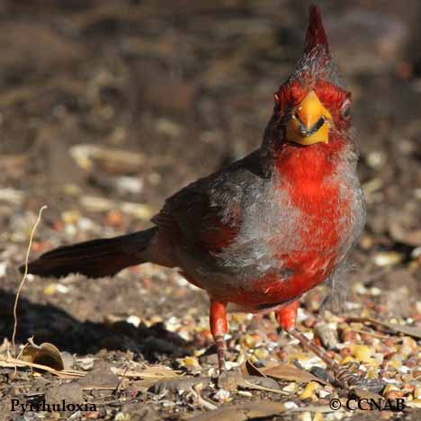 red colored birds of north america - 468×468