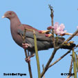 Red-billed Pigeon