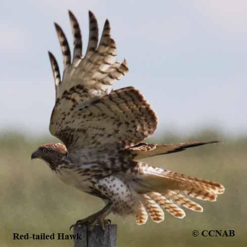 accipitor, accipitors, hawks, birds of prey