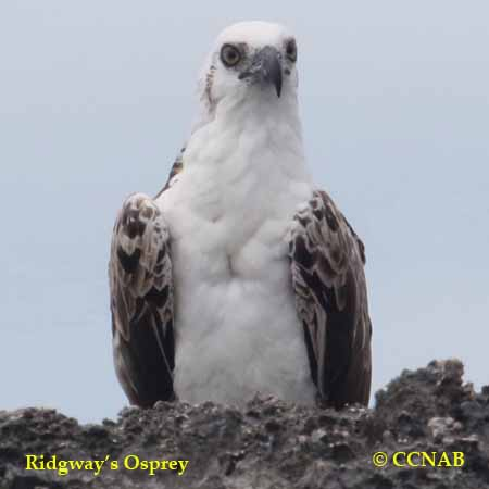 Ridgway's Osprey
