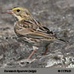 Savannah Sparrow (grey)