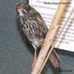 Seaside Sparrow (Dusky)