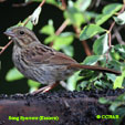 Song Sparrow (Eastern)