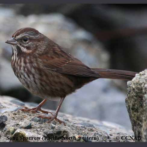 Sooty Song Sparrow
