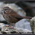Song Sparrow (Pacific Northwestern)