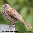 Song Sparrow (Southwestern)