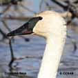 Swan Types