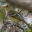Thick-billed-vireo
