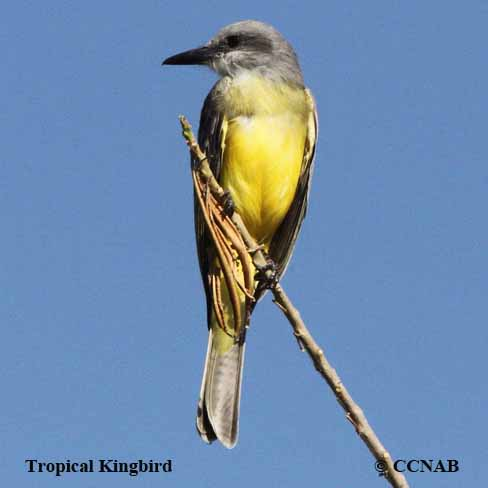 kingbirds, pictures of kingbirds