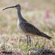 Whimbrel (American)