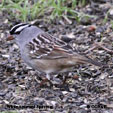 White-crowned Sparrow (taiga)
