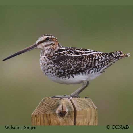 snipes, picture of snipes