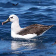 Yellow-nosed Albatross (Indian)