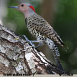 Yellow-shafted Flicker