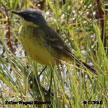 Yellow Wagtail (Eastern)