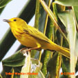 Yellow Warbler (Golden)