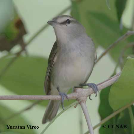 Yucatan Vireo