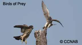 Birds Of Prey North American Birds Birds Of North America