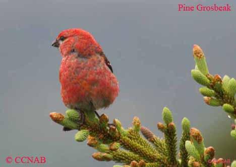 list of north american birds - list of bird names- birds of north