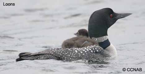A mother Common Loon and her two babies riding on her back in Newboro Lake under stormy skies, Ontario, Canada