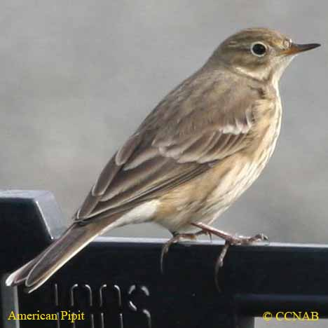 pipits, picture of pipits