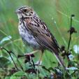 Baird's Sparrow