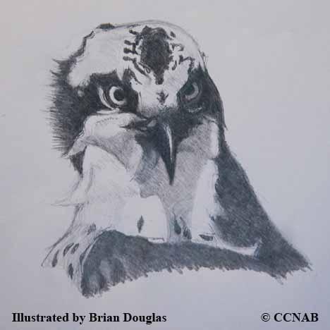 Birds of prey, pictures of birds of prey