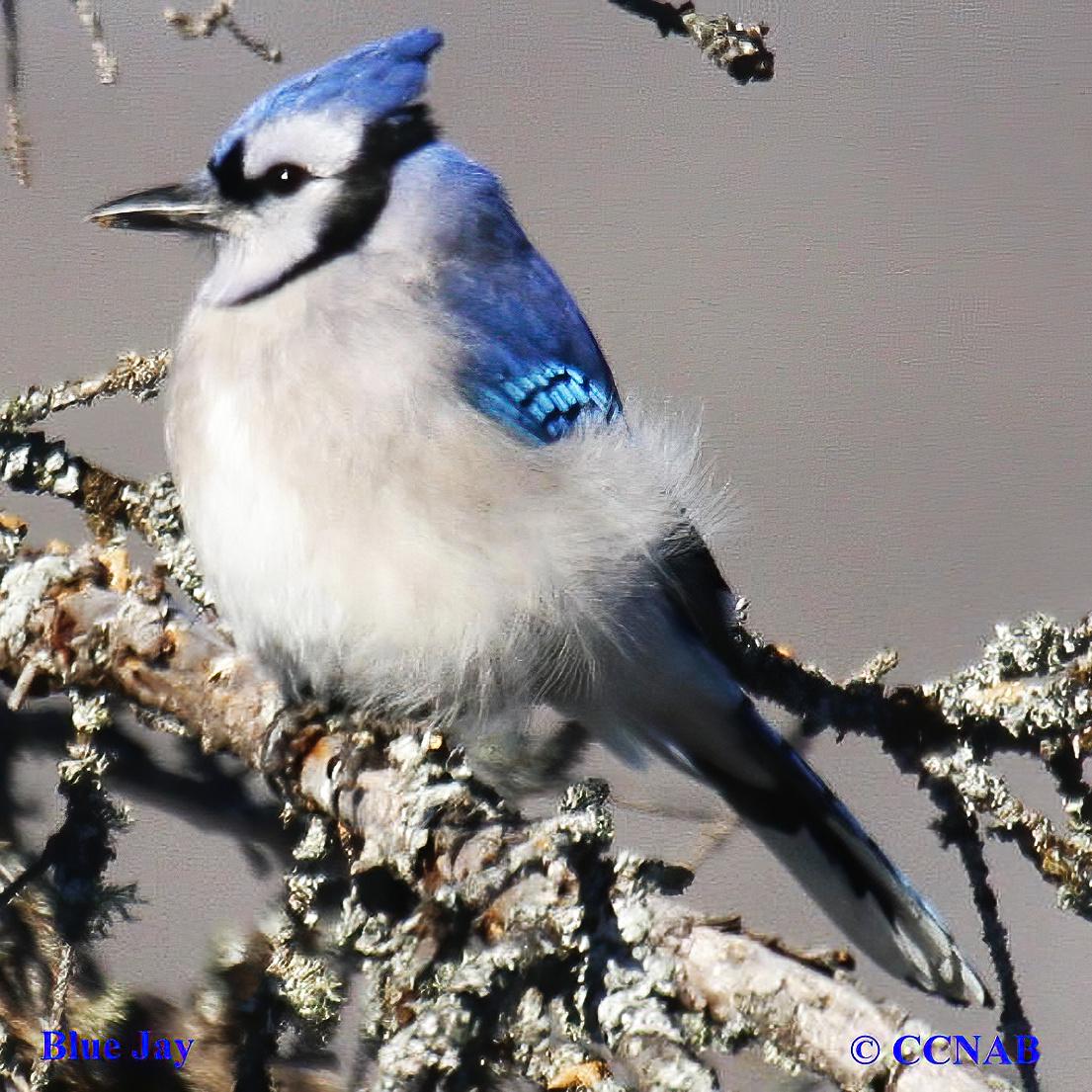Blue Birds By Color North