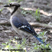 Blue Jay (Southeastern)