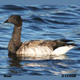 'Brant' from the web at 'http://www.birds-of-north-america.net/images/xBrant_T.jpg.pagespeed.ic.hZjh6Cx9dF.jpg'