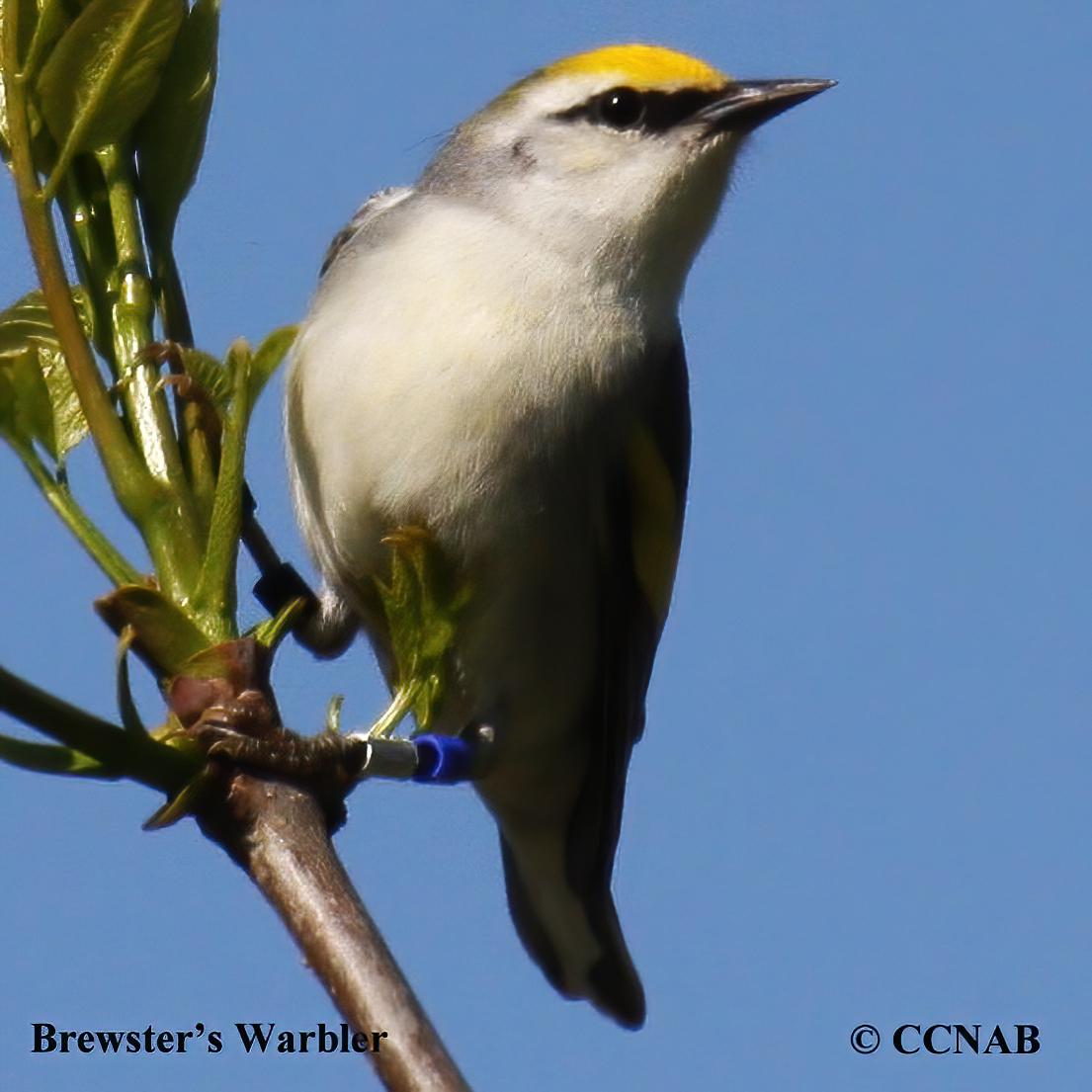 Brewster's Warbler