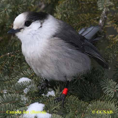 Canada Jay (Boreal)