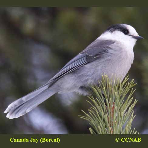 Birds of the Canada