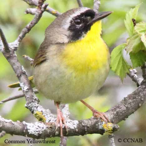 yellowthroats
