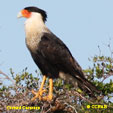 'Crested Caracara' from the web at 'http://www.birds-of-north-america.net/images/xCrested_Caracara_T.jpg.pagespeed.ic.yQs5MLZpiE.jpg'