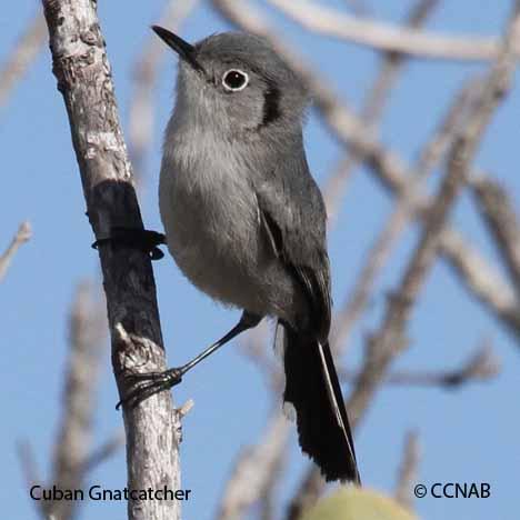 Birds of the Cuba