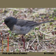 Dark-eyed Junco (Cassiar)