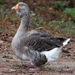 Domestic Graylag Goose