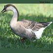 Domestic Swan Goose