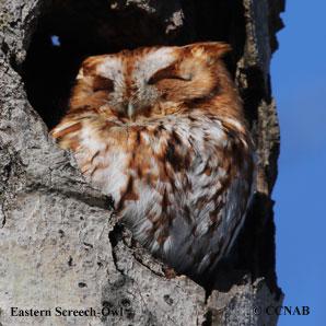 Eastern_Screech-Owl