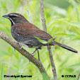 Five-striped Sparrow