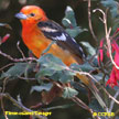 Flame-colored_Tanager