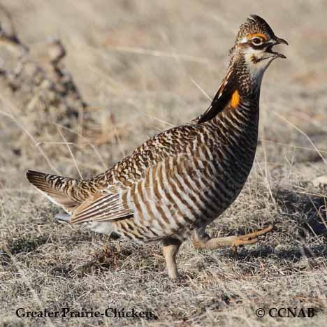 prairie-chickens
