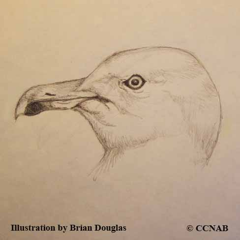 Gulls - North American Birds - Birds of North America