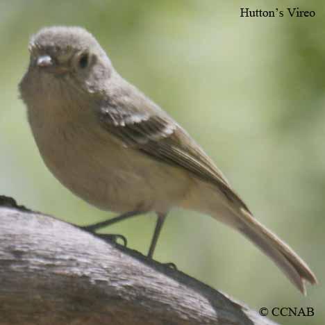 Hutton's Vireo