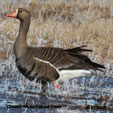 North American Geese