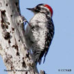 Nuttall'-s Woodpecker